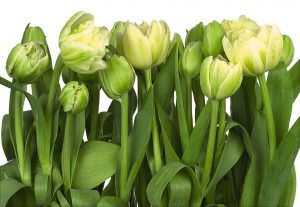 Painel Fotográfico Tulips Flowers 8-900