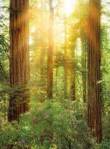 Painel Fotográfico com imagem Redwood Park National da Califórnia | Ref: XXL2-044