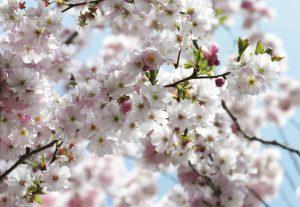 Painel Fotográfico flor de cerejeira/ Ref: 8-507 3.68m Largura x 2.54m Altura