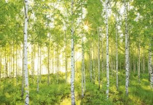 Painel Fotográfico Floresta de Vidoeiro/ Ref: 8-519 3.68m Largura x 2.54m Altura